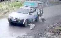 Pendik Belediyesi'nde görevli şoför, aracın önüne doğru koşan köpeklerden birisini ezdi