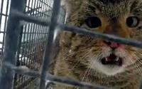 Hırsız yaban kedisi doğal ortamına bırakıldı