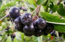 Kansere karşı mucize meyve