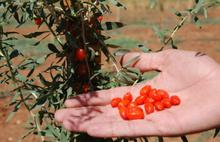 Go Berry Türkiye'de llk ürününü verdi