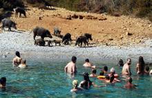 Bodrum'daki domuzları tatilciler besledi