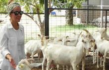 İstanbullu mimar keçi çiftliğiyle markalaştı