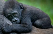 Gorillerin bitmeyen çilesi: Koronavirüs onları da vurabilir