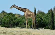 Zürafa Zarife neden öldü?