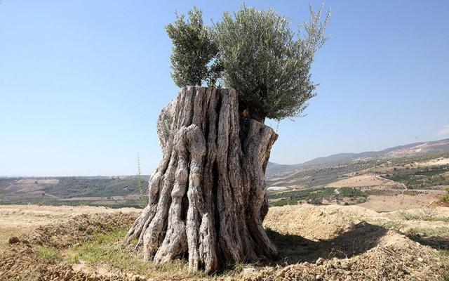 800 yıllık zeytin ağacı meyve verdi